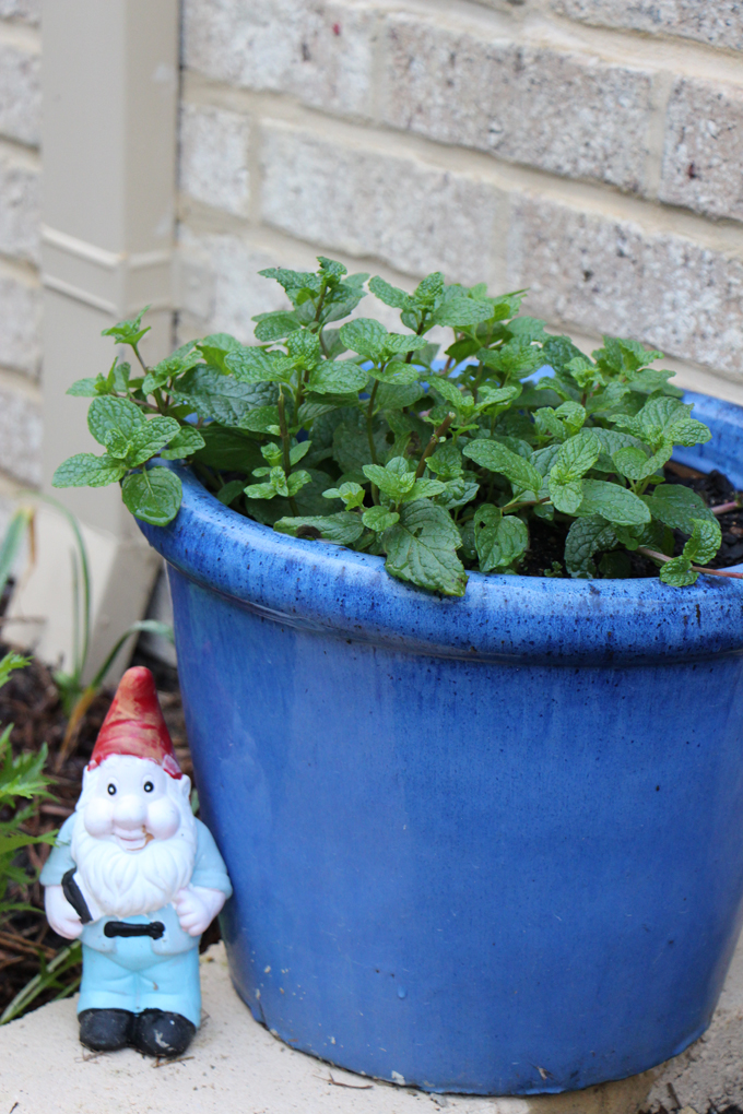 Mint. A must-have smoothie/ juice ingredient. Always plant in pots